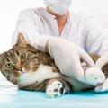 猫の術後服ってどんなもの?必要性や選び方