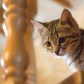 子猫が階段を降りられるようになる年頃