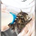 手元で成長していく子猫を見られる特権!ミルクボランティアのすすめ