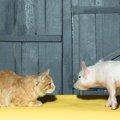 猫がブーブー鳴く4つの原因と対処法