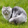 ペルシャ猫をブリーダーから迎え入れる方法とは