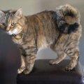 アメリカンリングテイルはどんな猫?ルーツや特徴、性格や値段について