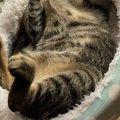 【パニック】首がない…?猫さんの寝相にTwitter民困惑