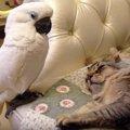 「まだそんな関係じゃないニャ!」オウムと猫との縮まらない関係
