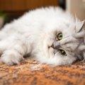 ペルシャ猫の性格とは?オスとメスでの違いも!