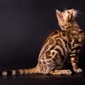 ベンガル猫の性格の4つの特徴とは