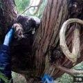 アライグマに追われ木にの上へ逃げた猫…困難な救出の行方は?