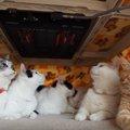 こたつの中の6匹猫が癒される!