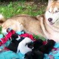 段ボール箱で捨てられた7匹の子猫…救ったのはハスキー犬だった!