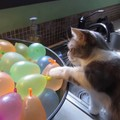 「どうして消えたニャ?」割れた水風船にびっくりした猫ちゃん