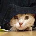 ピョコっと出した顔が可愛い!布でかくれんぼしてる猫ちゃん