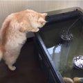 まるで監視員?金魚部屋をチェックしてまわる猫