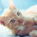アメリカンボブテイルは優しくて癒し系の猫!