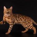 ベンガル猫の大きさと特徴