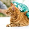 猫の風邪で人にうつる種類と注意点について