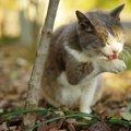 猫用レボリューションの効果や投与する方法、副作用