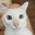 猫のダイクロイックアイとは?オッドアイとは違う「瞳の色が2色に分…