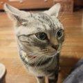 猫の『イカ耳』とは?耳を後ろにピンと倒す時の心理