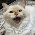 猫に『キャベツ』を与える時にしてはいけないNG行為4選