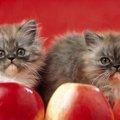 りんご猫とは?猫エイズの偏見をなくす活動