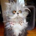 多毛症の猫「Atchoum(アチュム)」が可愛い!