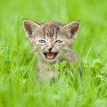 猫の鳴き声、日本語では「ニャーニャー」だけど英語ではなんて言うの?