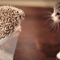 ハリネズミにドキドキ!初めてハリネズミを見た子猫の反応は?