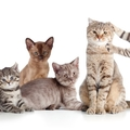 小型の猫の様々な種類と平均のサイズ