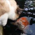 驚き!猫と鯉の間にも友情は芽生える!
