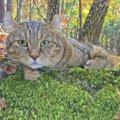ハイランドリンクスってどんな猫?特徴や値段、飼い方まで