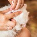 猫の耳の病気4つの症状や治療、予防する方法について