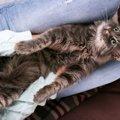 猫が『膝に乗りたがる』5つのワケ