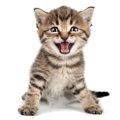 猫界の天使 永遠に子猫のままで生きる小猫症とは?