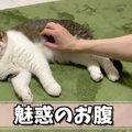 フワフワ猫さんのお腹に顔を埋めたい!