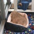 子猫を貰いにシェルターを訪れたカップルは巨大な体の猫を連れて帰っ…