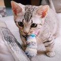 わんちゃんみたいにおもちゃをとってくる子猫がかわいい♡
