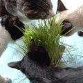 恐怖より食い気!猫草に夢中になるあまり強気に出る