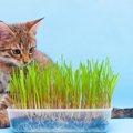 猫草の育て方を解説!栽培場所や水栽培の方法まで