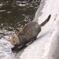 【これは珍しい!】猫ちゃん、水に入ってお魚をハント!