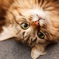 猫の目やにが黒い原因と考えられる病気