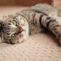 モハーベスポッテドはどんな猫?特徴や歴史、性格と飼い方まで