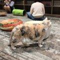 【東京都武蔵野市吉祥寺】広々店内で猫もイキイキ「猫カフェきゃりこ…