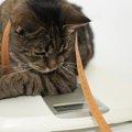 猫のダイエットを成功させる方法4つ!食事やおもちゃ、肥満の予防まで