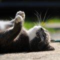 猫が過呼吸になっている時の症状と原因や対処法