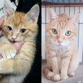 【愛猫のビフォー&アフター】車のボンネットから救助した子猫『チ…