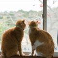 猫の交尾はかなり痛い!発情期や繁殖行動について
