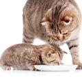 子猫の育て方の基本、準備する物やご飯のあげ方、しつけの方法