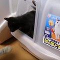 猫用トイレに出たり入ったりする猫ちゃん、でもその行動の理由にほっ…