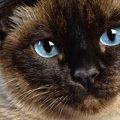 シャム猫の値段の相場と育てるのに必要な費用