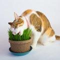猫のために猫草を買ってきたけど食べない...毛玉は大丈夫?